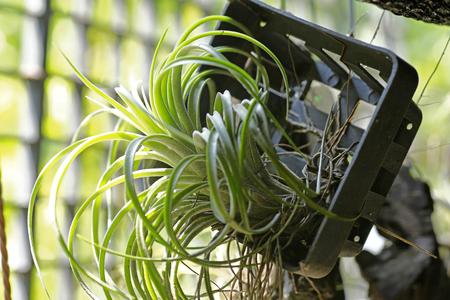 tillandsia: Bromeliad tillandsia