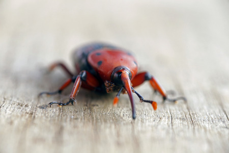 The red palm weevil on wood background Stock Photo