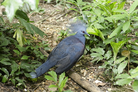 victoria: Victoria Crowned Pigeon, Goura victoria Stock Photo