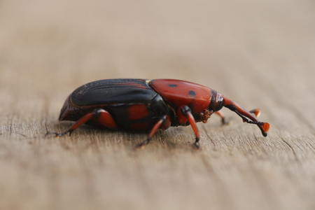 The red palm weevil on wood background 版權商用圖片