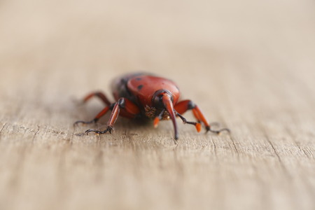 weevil: The red palm weevil on wood background Stock Photo