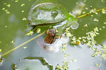 tiny frog: a frog in a stream covered with tiny leaves Stock Photo