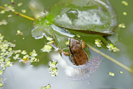 treefrog: a frog in a stream covered with tiny leaves Stock Photo