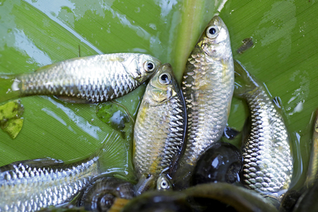 forage fish: fish small local food of villager thailand