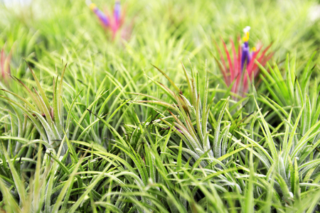tillandsia: Bromeliad tillandsia and tillandsia flower Stock Photo