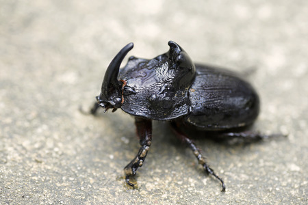 oryctes: Oryctes is the most economically important genus of rhinoceros beetles