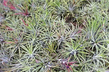 tillandsia: Bromeliad tillandsia and tillandsia flower Stock Photo