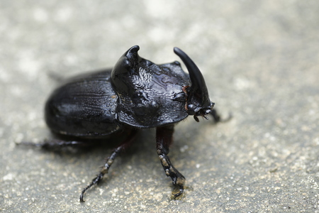 Rhinoceros Beetle Oryctes nasicornis With Beautiful Background Stock Photo