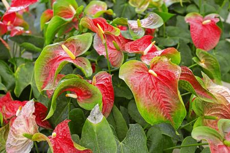 spadix: Beautiful spadix flower in the garden, selective focus