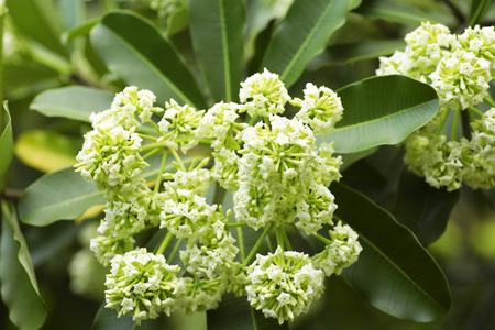 br: Blackboard Tree, Devil Tree, Alstonia scholaris Linn. R. Br., Flowers, herbs, Thailand has medicinal properties Stock Photo