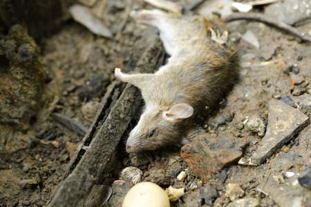 dead rat are eaten by ants Stock Photo