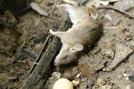 dead rat: dead rat are eaten by ants Stock Photo