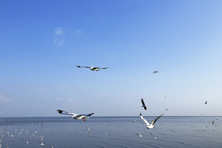pu: Migratory seagulls flock to the Bang Pu Seaside, Thailand during November and April.