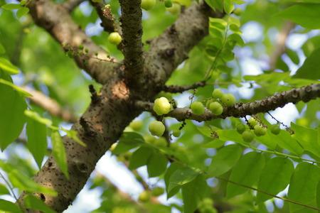 grosella: grosella estrella fruta en el árbol Foto de archivo