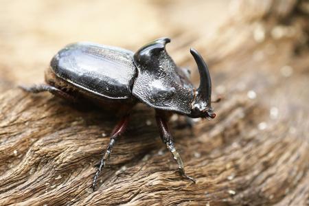 oryctes: Rhinoceros Beetle Oryctes nasicornis With Beautiful Background Stock Photo