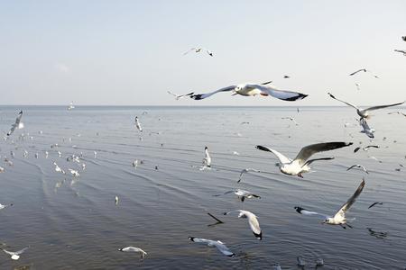 fat bird: Migratory seagulls flock to the Bang Pu Seaside, Thailand during November and April.