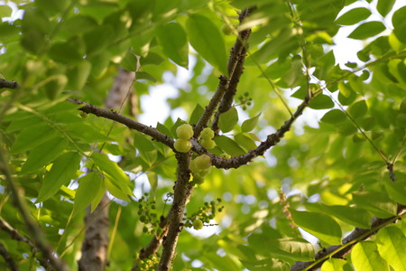 plant seed: star gooseberry fruit on tree