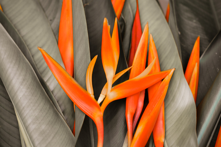 bird of paradise: Bird of Paradise Flowers Isolated on a White Background Stock Photo