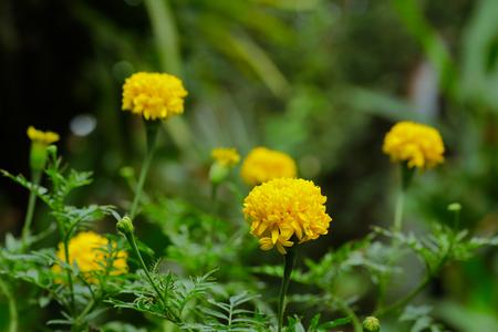 curative: Pot marigold Calendula officinalis in the garden Stock Photo