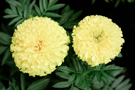 officinalis: Pot marigold Calendula officinalis in the garden Stock Photo
