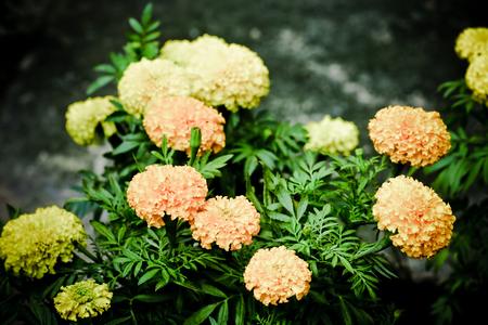 garden marigold: Pot marigold Calendula officinalis in the garden Stock Photo