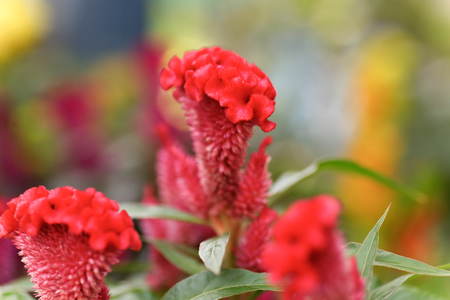 celosia: Colorful of plumed cockscomb flower or Celosia argentea Stock Photo