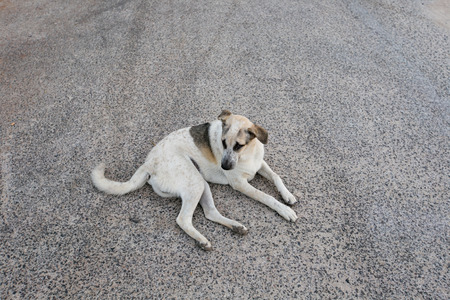 sad homeless stray dog sitting on concrete with dog tag in an ear sign of beeing neutered