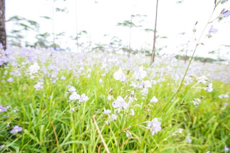 Murdannia giganteum is blooming at Phu Soi Dao National Park, Thailand. Selective focus
