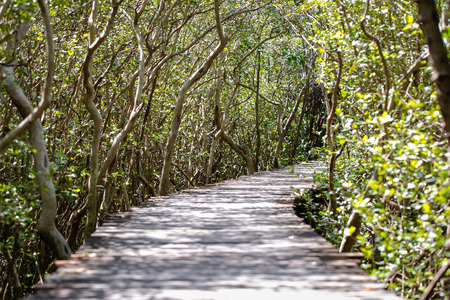 Tree tunnel in Mangrove forest nature trail at Laem Phak Bia Petchaburi Thailand, soft blur and soft focus.