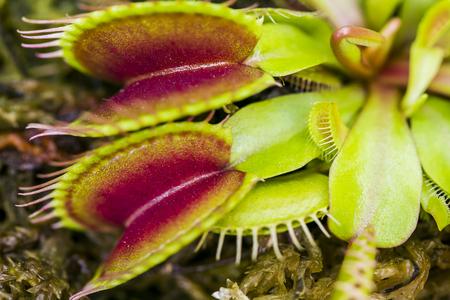 Macro image of a carnivorous droseaceae plant