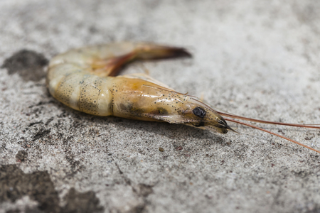 Small prawns are used as bait for fishing.