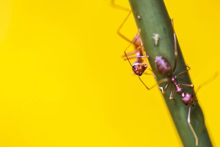 Red weaver ants share the food with the other