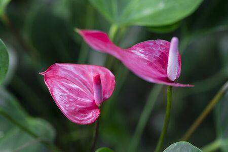 Beautiful spadix flower in the garden, selective focus