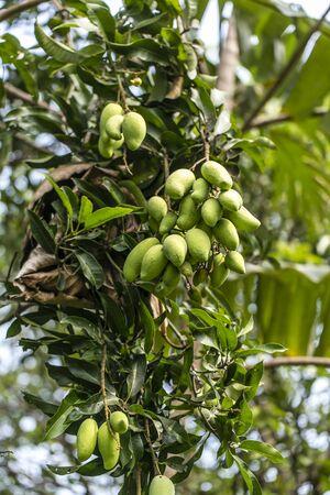 Ripe Alphonso Mangos - King of fruits on mango tree