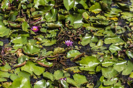 Lotus grows in the lake