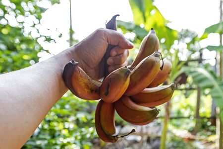 Red bananas is a species of bananas that have a dark red skin. Smaller balls than green bananas The meat when cooked is creamy yellow or pinkish yellow. Softer and sweeter than other varieties of bana