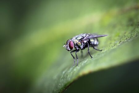 Close up of Blow fly Is a large fly that is commonly found in communities with various sewage Are flies that are green or blue-green to black With bright colors Sparkle Found in Thailand Has a body bigger than house flies Standard-Bild