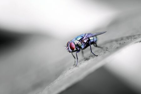 Close up of Blow fly Is a large fly that is commonly found in communities with various sewage Are flies that are green or blue-green to black With bright colors Sparkle Found in Thailand Has a body bigger than house flies