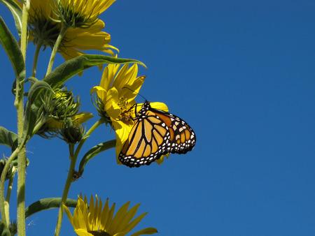 A monarch against a blue sky.