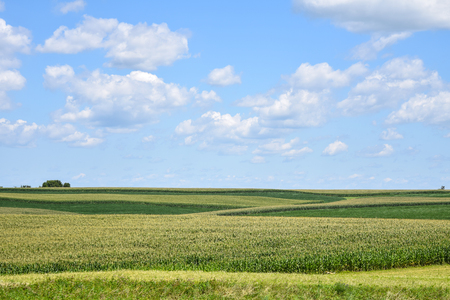 A series of corn fields in Wisconsin on a summer day.