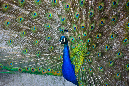 A male peacock strutting and showing off his plumage.