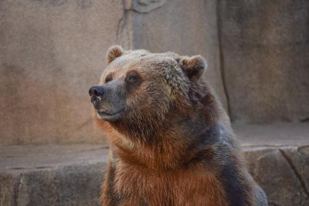 A head shot of a brown bear. Banco de Imagens