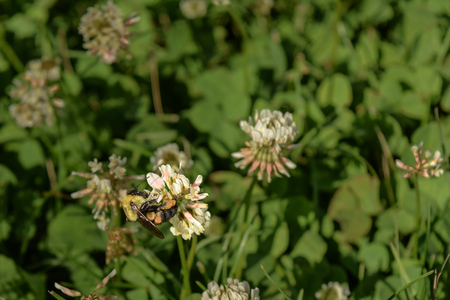 A bee stopping by a clover flower for pollination.
