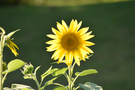 A back lit sunflower appearing to glow in the later afternoon sun. Banco de Imagens