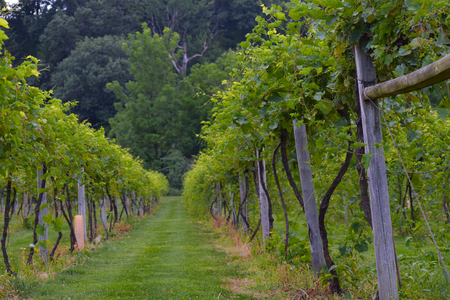 The row of a vineyard.