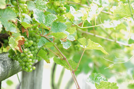 grape vine in a vineyard