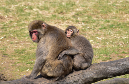 Young macaque monkey holding on to his mother.