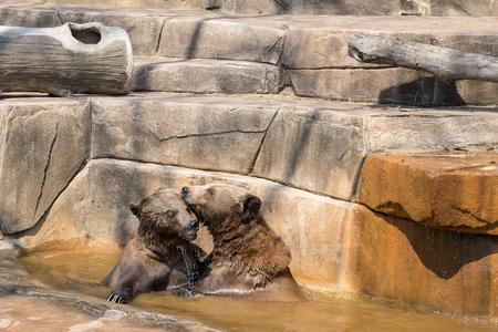 Two brown bears hugging in the water.