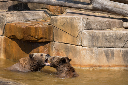 Two brown bears fighting in the water.