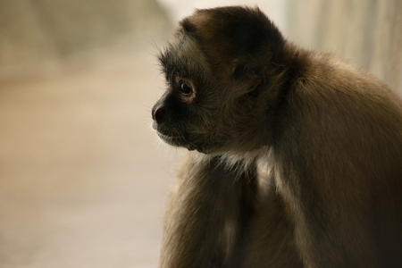 Profile of a spider monkey in a moment of rest. Banco de Imagens